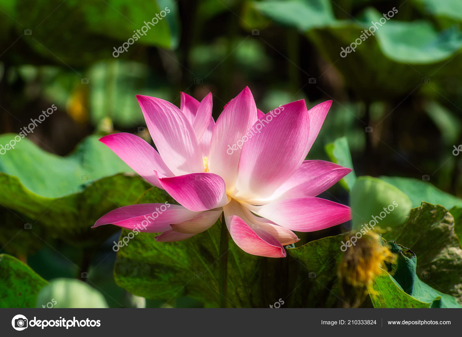 Close pink lotus flower blooming nelumbo nucifera stock photo close pink lotus flower blooming nelumbo nucifera stock photo izmirmasajfo
