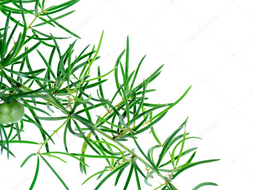 Close up of Shatavari plant (Asparagus racemosus Willd) on white background with space.