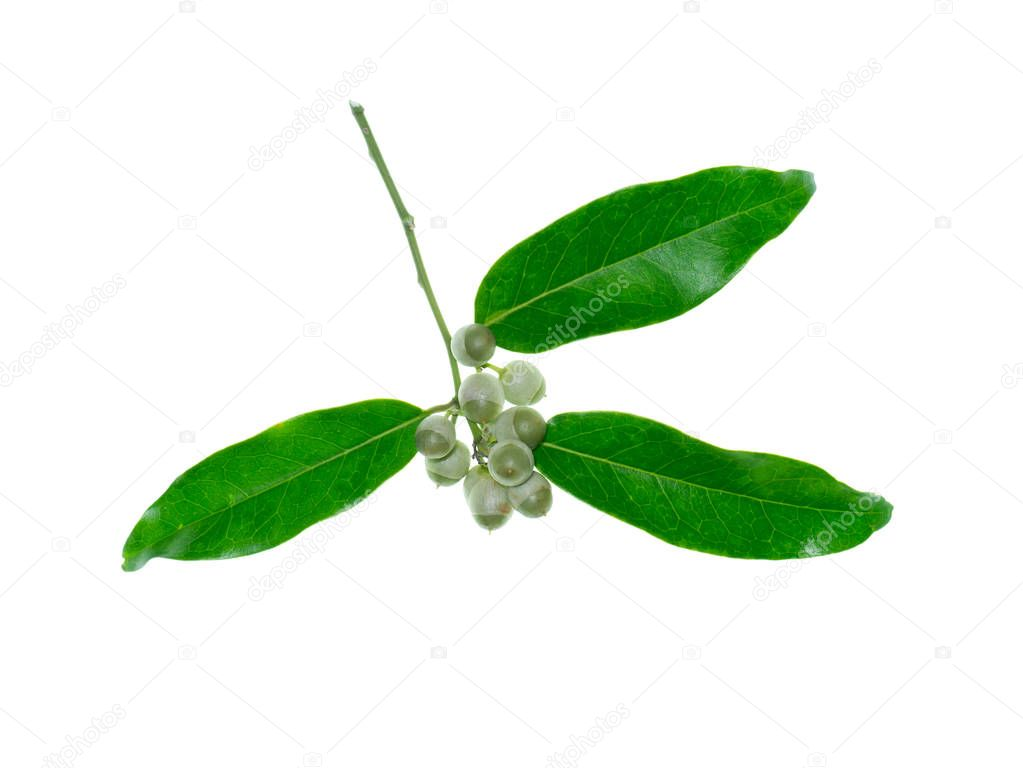 Close up of Olax psittacorum (Lam.) plant on white background.