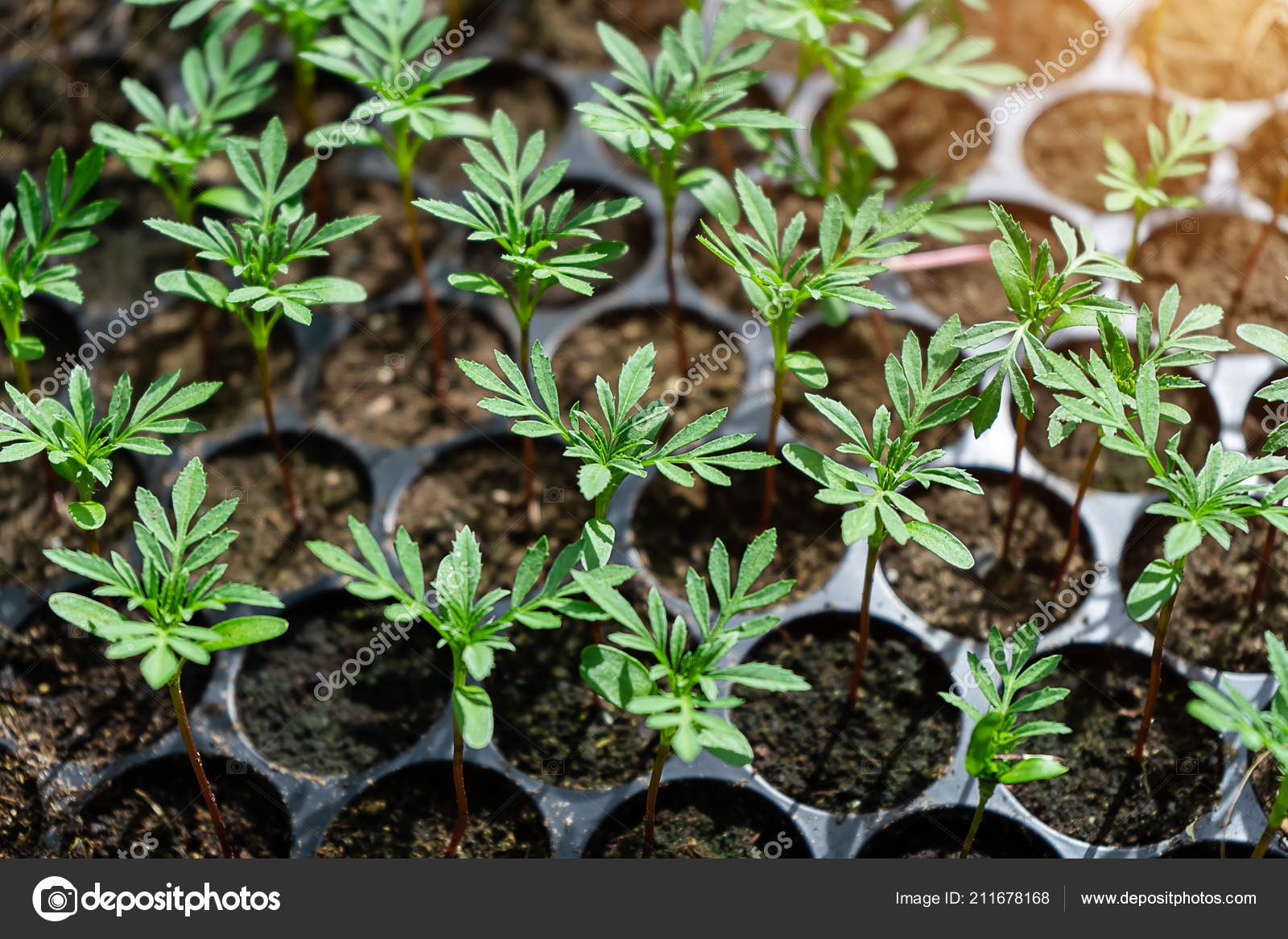 Seedlings Marigolds Planting Stock Photo C Noppharat Th 211678168