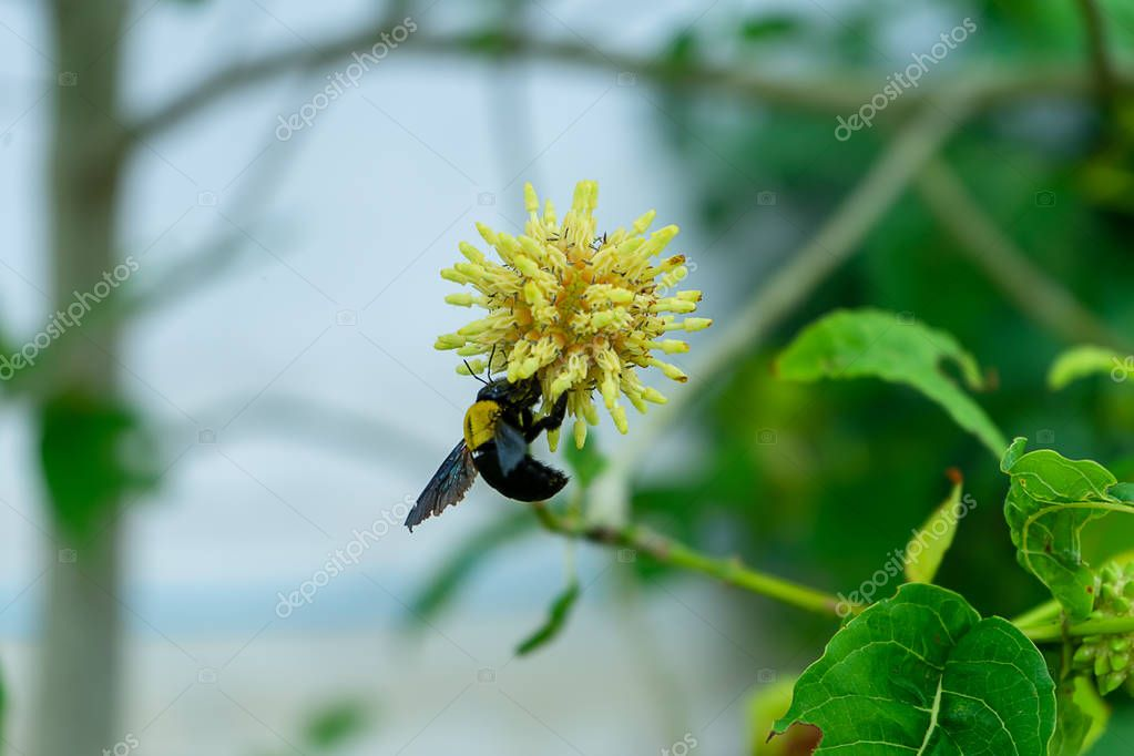 Close up of Mitragyna speciosa flower with bumble bee on blur background.