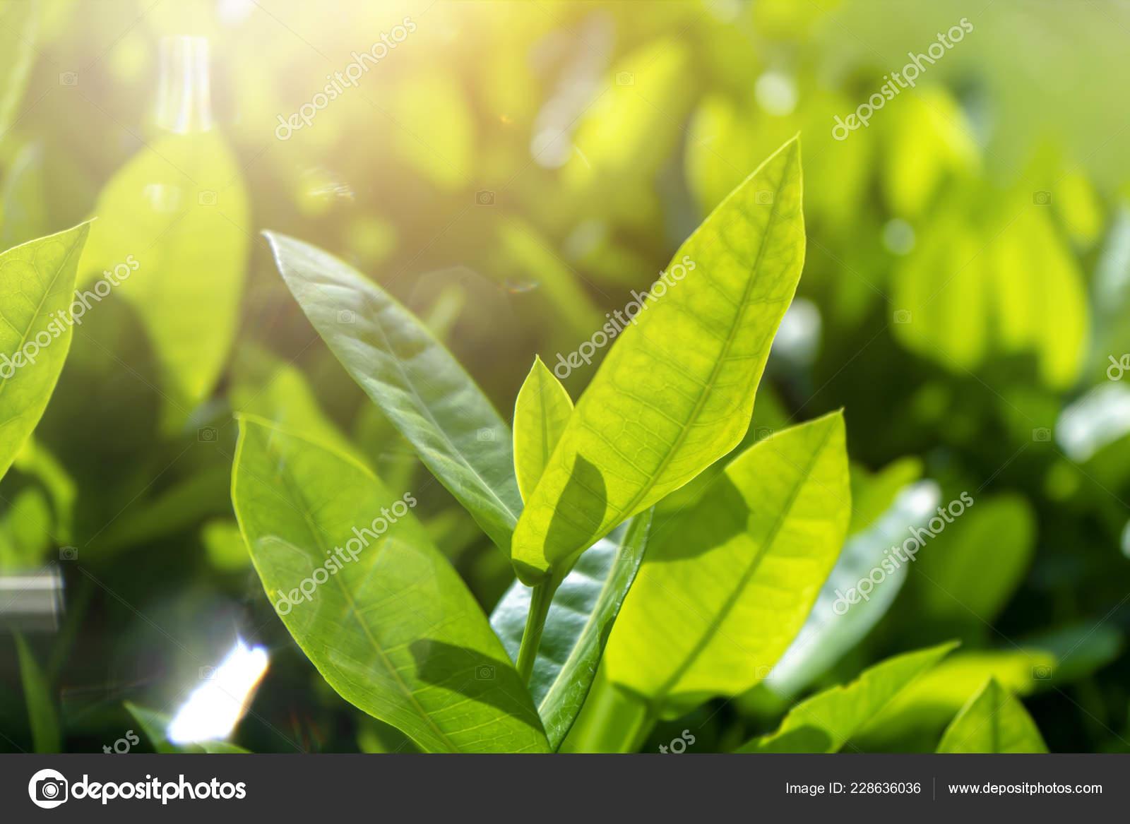 Close Leaves West Indian Jasmine Light Scientific Name Ixora — Stock