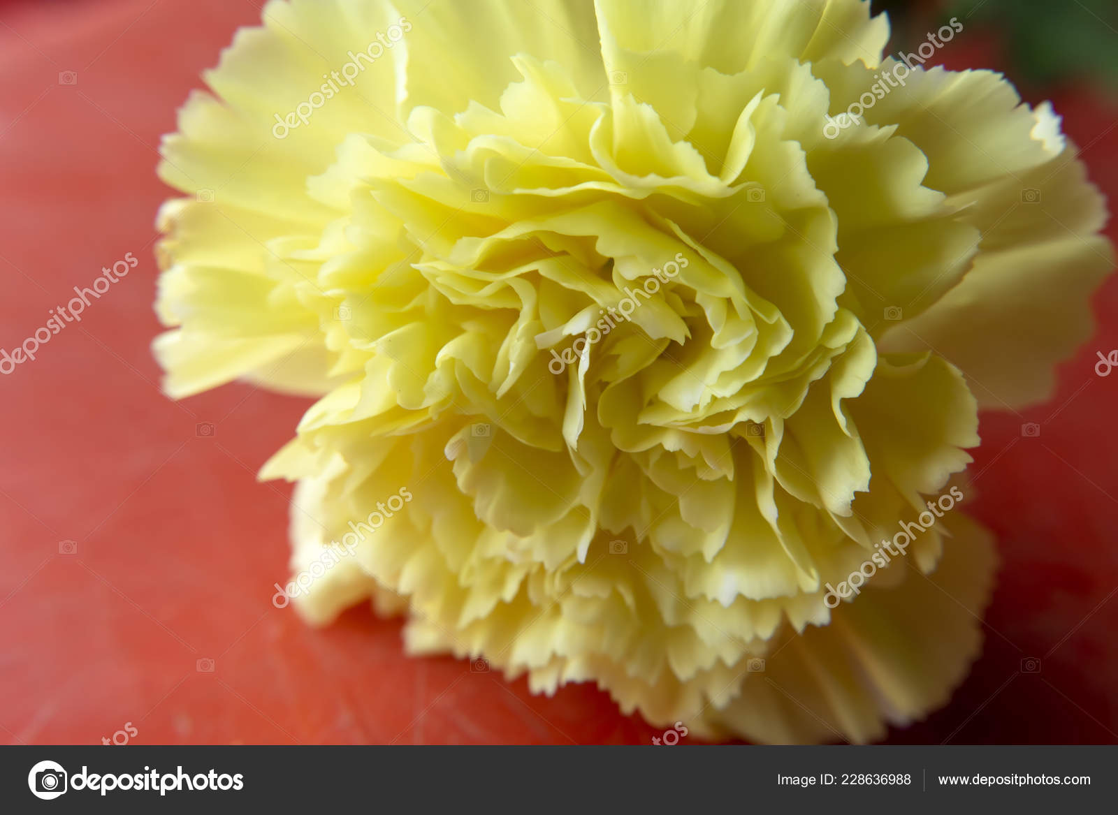 Close Yellow Carnation Flower Red Background Dianthus Caryophyllus