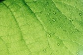 macro texture of green leaf with water drops