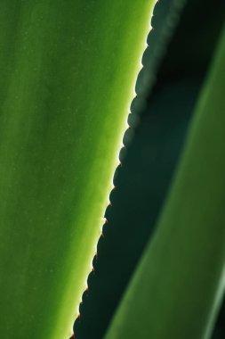 macro view of green aloe leaf in sunlight