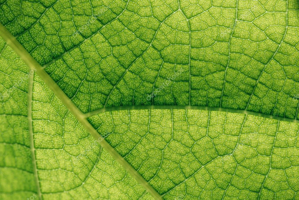 macro texture of natural green leaf