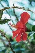 zblízka pohled červený ibišek květ na zelených rostlin