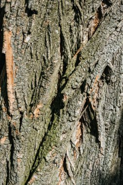 vertical texture of dry tree bark with daylight