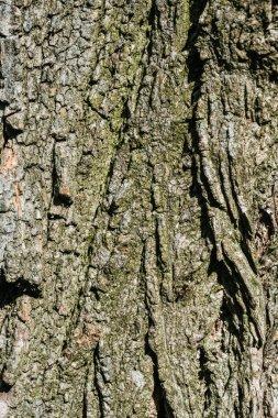 vertical texture of dry grey tree bark