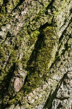 vertical background of tree bark with moss