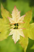 Photo Maple leaves on tree branch background