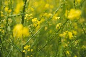 Fotografie Beautiful meadow with blooming yellow flowers