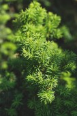 Jehličnatých větví a listí v slunečního záření pozadí