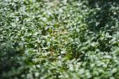 Vinka rostlin na zem v lese