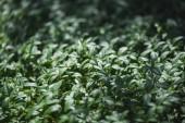 Fotografie Green leaves of vinca plant on summer meadow