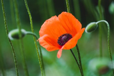 Blooming red poppy flower on summer meadow