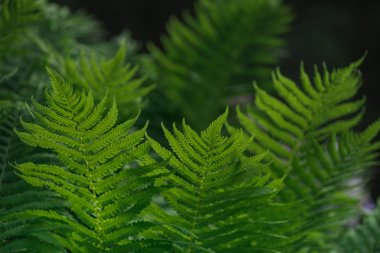 Natural background with green fern leaves