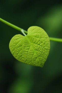 Heart shaped leaf on blurred green background stock vector