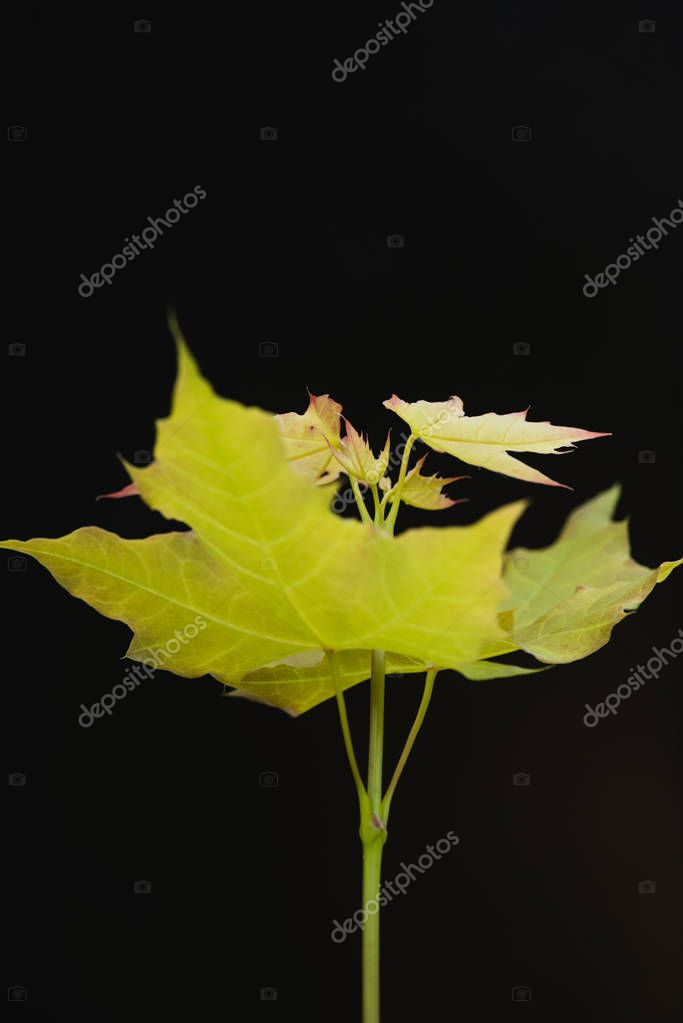 Tree branch with maple leaves isolated on black background