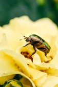Photo one rose chafer beetle on petals of yellow flower in park