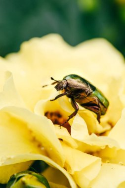 one rose chafer beetle on petals of yellow flower in park