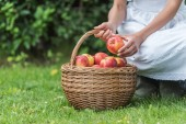 Photo cropped view of girl picking apples into wicker basket in garden