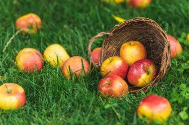 ripe fresh picked apples in wicker basket on green grass