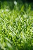 Fotografia vista ravvicinata di erba verde fresca, messa a fuoco selettiva