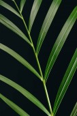 Fotografie close up view of green palm leaf isolated on black