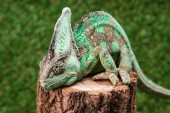 Photo close up of beautiful bright green chameleon sitting on stump