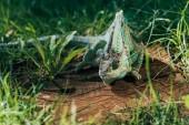 krásné světlé zelené chameleon sedí na pařezu