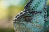 boční pohled na krásné světlé zelené chameleon