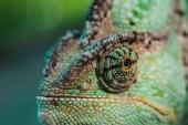 Detailní záběr z krásné světlé zelené chameleon