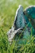 beautiful bright green chameleon sitting in green grass