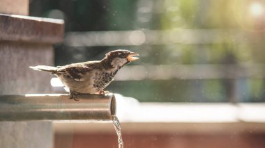 sparrow tweeting and sitting on pipe with flowing water in city