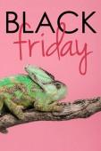 Fotografie schöne exotische Chamäleon auf Ast sitzend isoliert auf Rosa mit schwarzen Freitag Zeichen