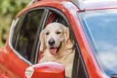 Krásný zlatý retrívr pes sedí v červené auto a při pohledu na fotoaparát oknem