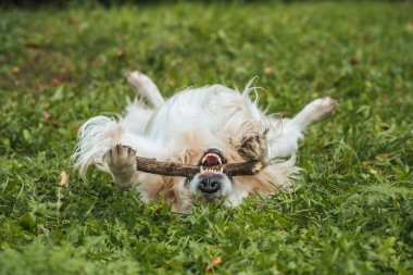 cute funny retriever dog playing with tree branch in park
