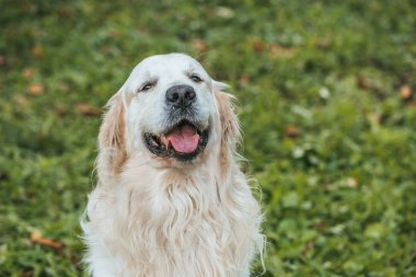 cute retriever dog showing tongue out and looking at camera while sitting on grass in park