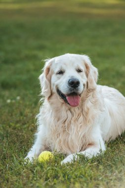 cute funny retriever dog lying with ball on grass