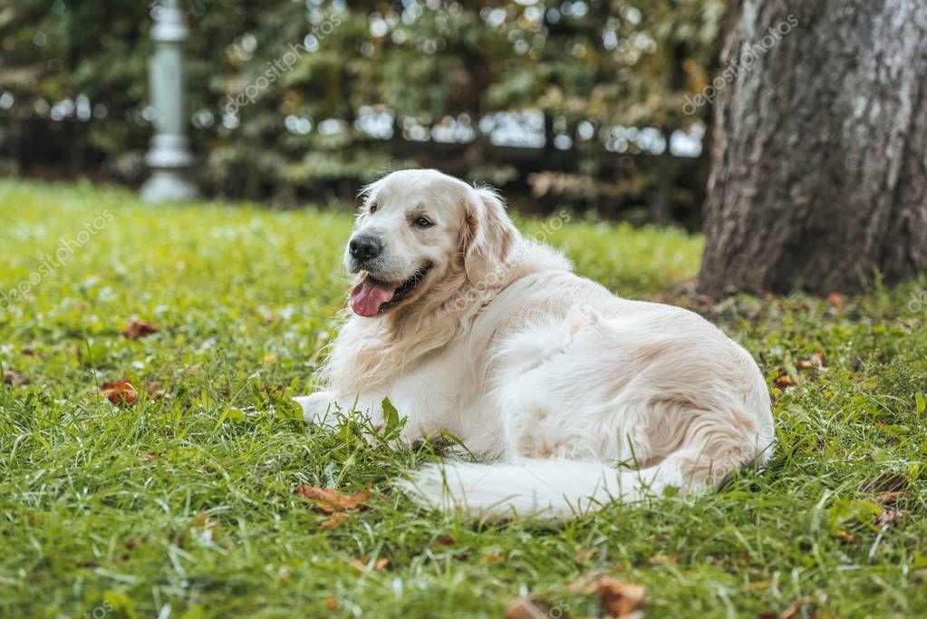 cute playful golden retriever dog lying on green grass in park