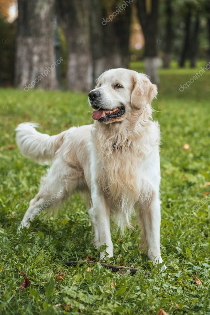cute funny retriever dog playing on grass in park