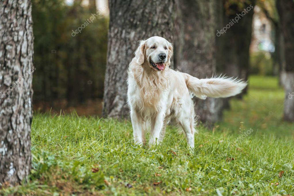 adorable playful golden retriever dog standing on grass in park