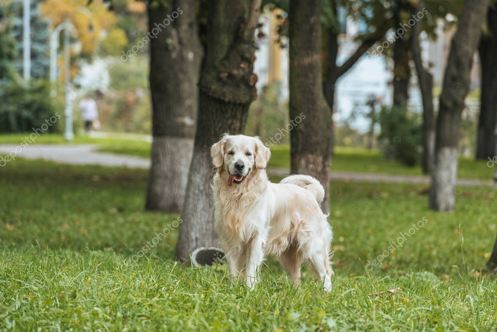 adorable playful golden retriever dog standing on grass and looking at camera in park