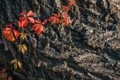 Fotografie zblízka pohled na staré šedou kůru s oranžové listy