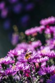 Close up view of bee on beautiful purple fresh flower in garden