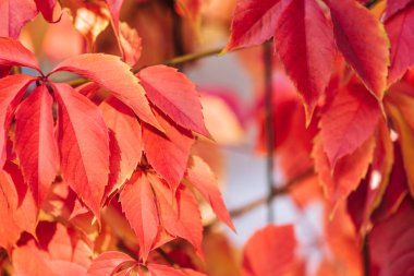 close up of beautiful red autumnal leaves