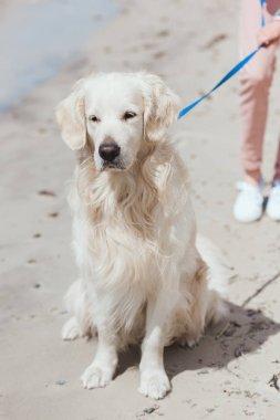 golden retriever dog sitting on sandy beach