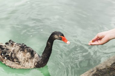 cropped shot of woman feeding beautiful black swan