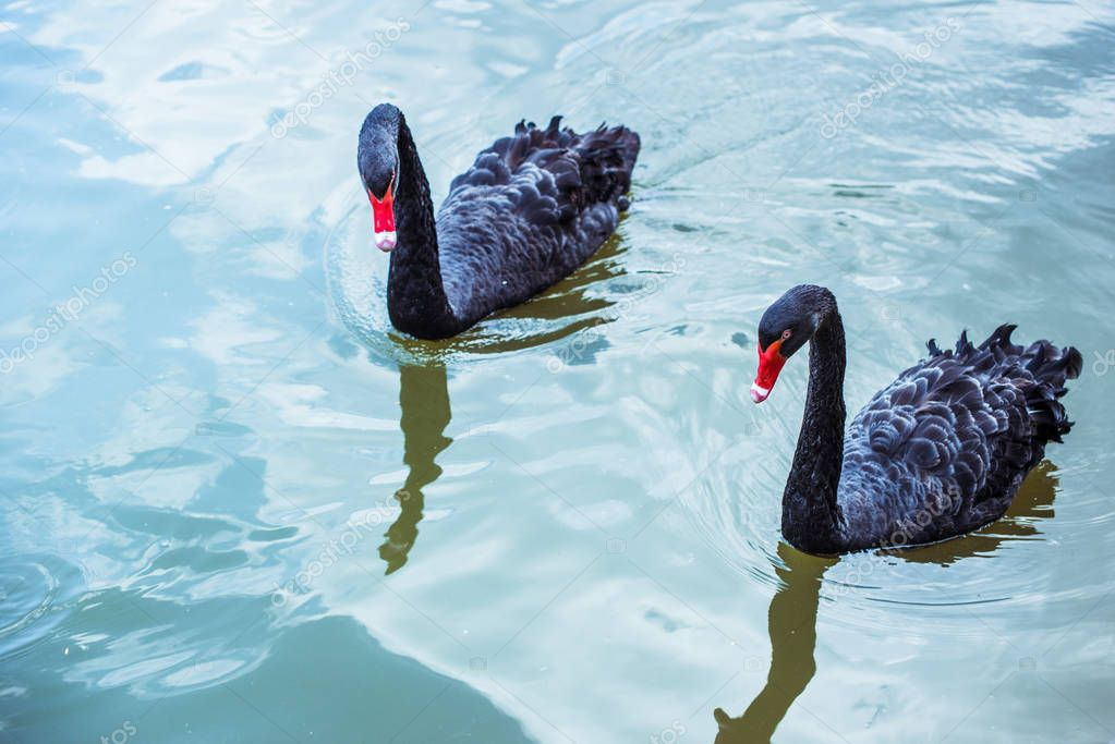 high angle view of couple of black swans swimming in blue pond together